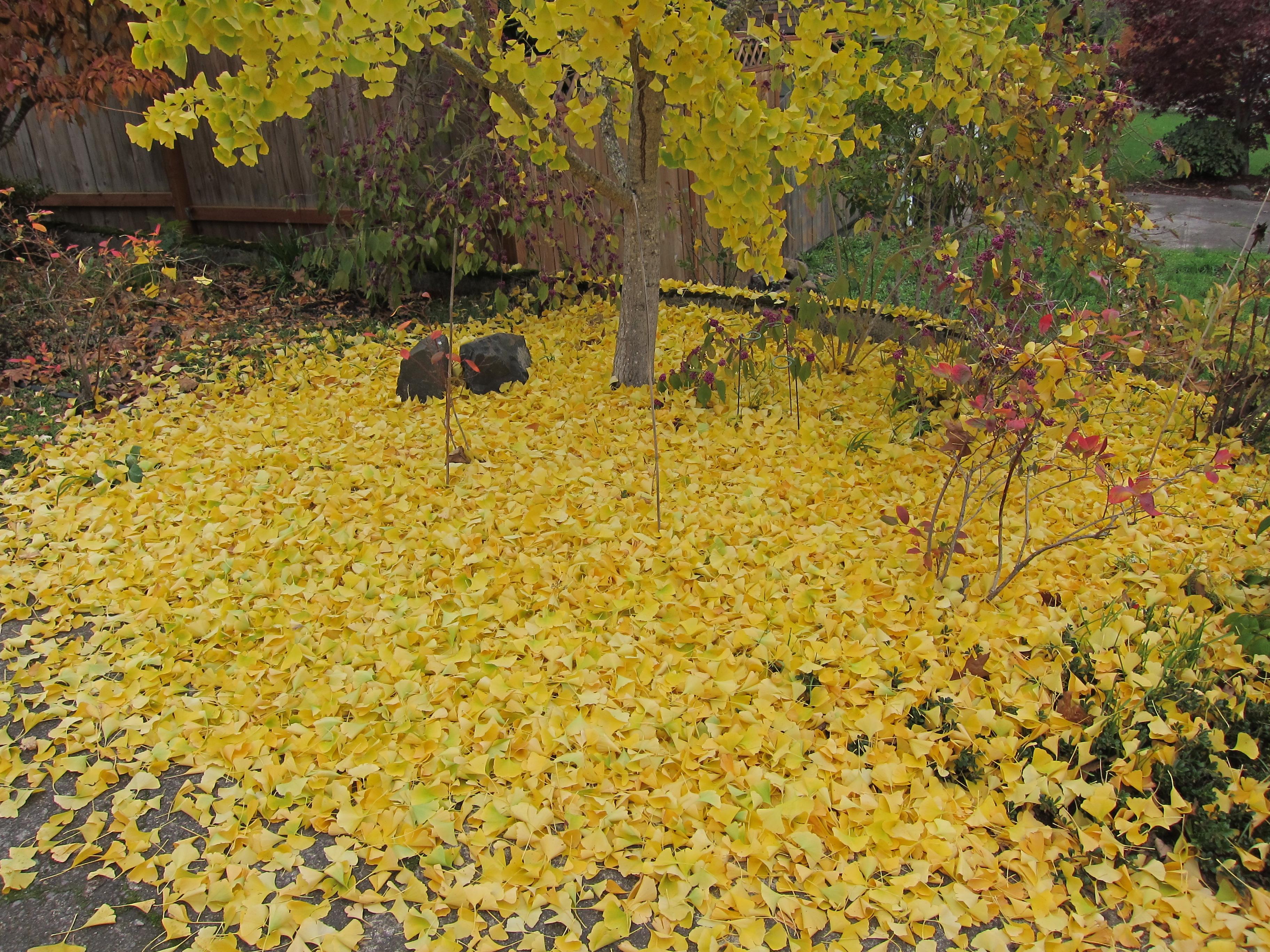 fallen yellow ginkgo leaves